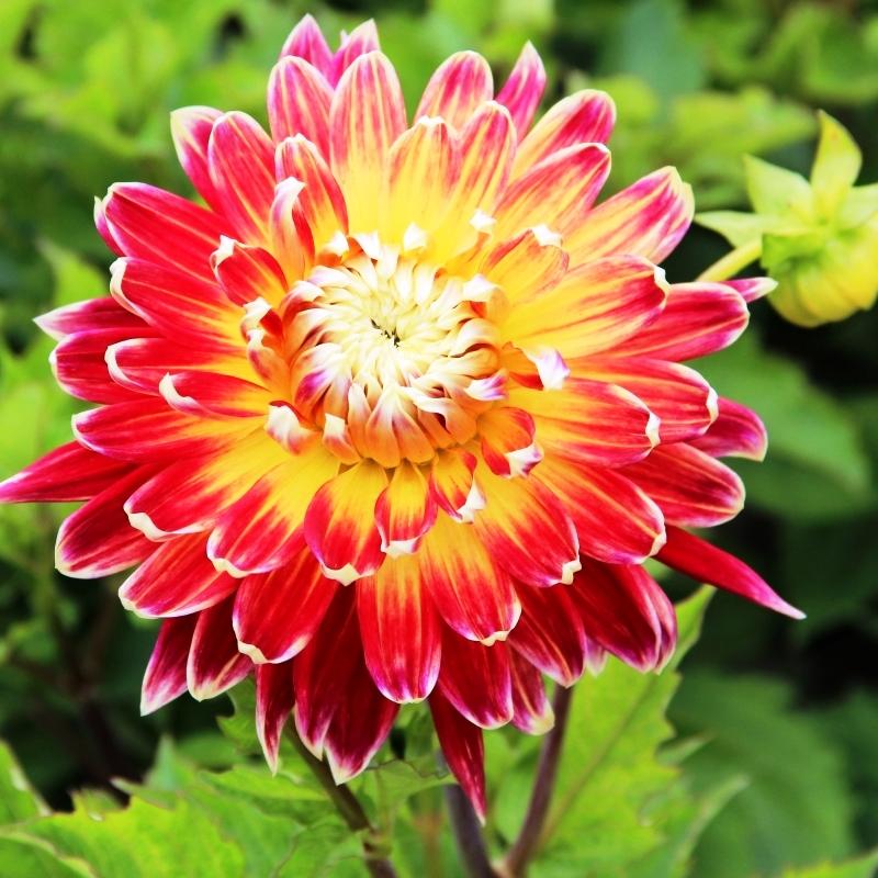 интерьеров георгины крупноцветковые фото название акита улыбайся все