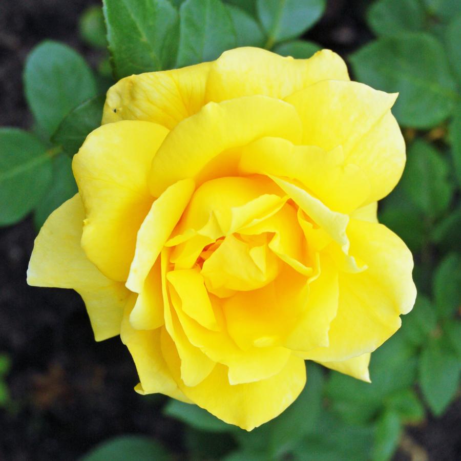 Пустынная роза фото густая челка