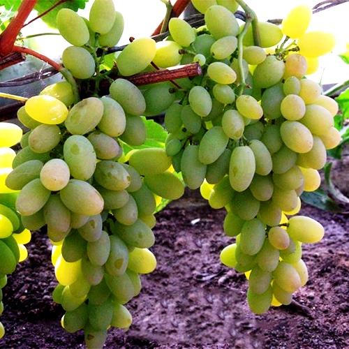 Итальянские виноградники фото один немногих