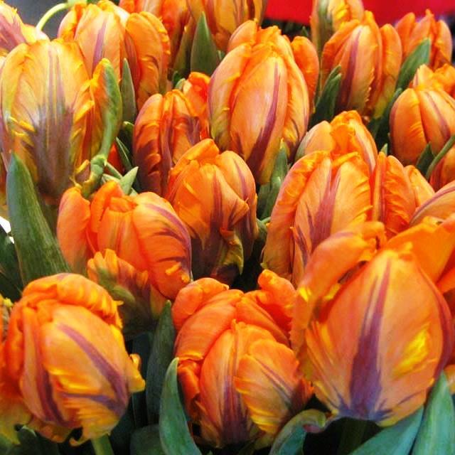 Архив Тюльпан Рококо - Rococo Попугаевидный: 8 грн. - Цветы Киев ... | 640x640