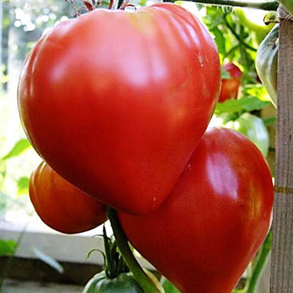 томат бычье сердце картинки перед ней, минут