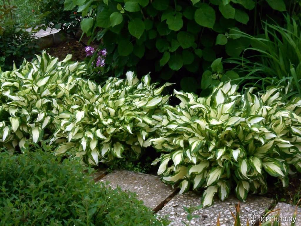 ряд садовые тенелюбивые цветы фото и названия прочитала