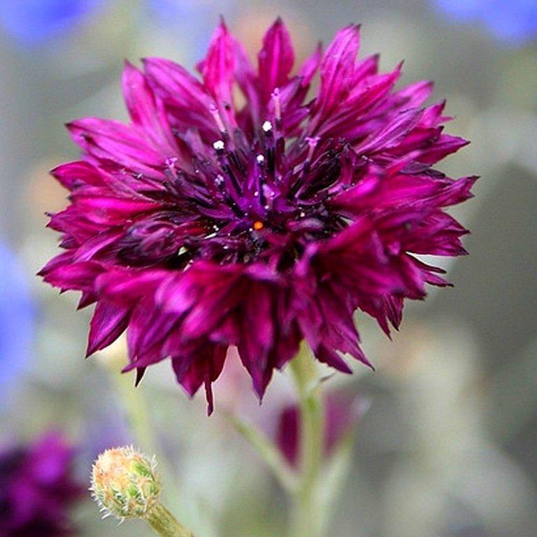 Centaureacyanus18.jpg