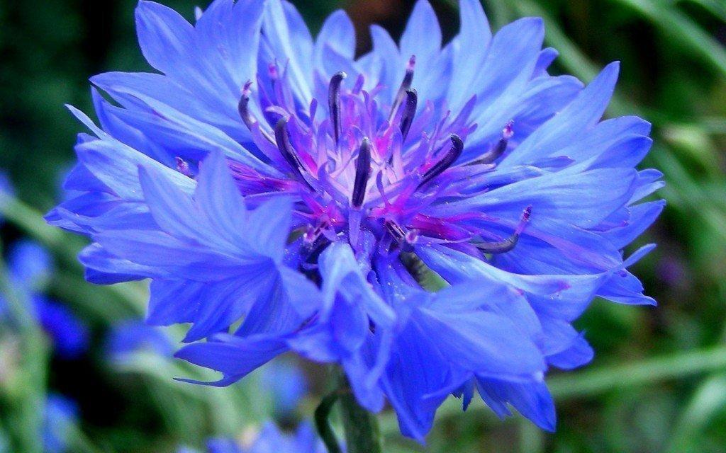 Василек-синий-1024x640.jpg