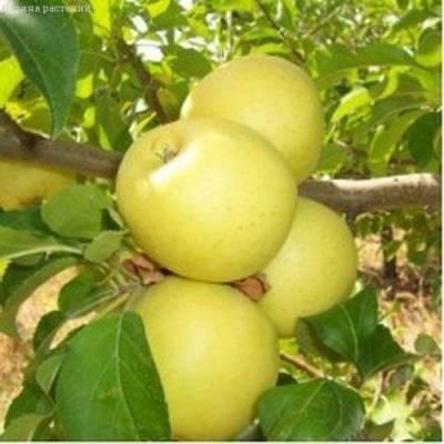 Купить яблоню Голден Делишс/Зимняя с доставкой почтой по Беларуси, каталог плодовых