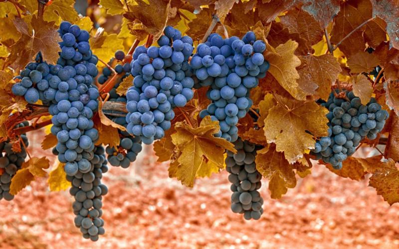 Преимущества и недостатки посадки винограда осенью. Инструкция по выбору, подготовке и высадки саженцев в грунт в осенний период